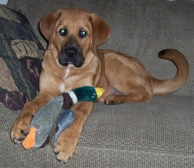 A tan Mountain Mastiff puppy is laying on a tan couch with a tan, green and maroon pillow next to it with a plush duck toy between its front paws.