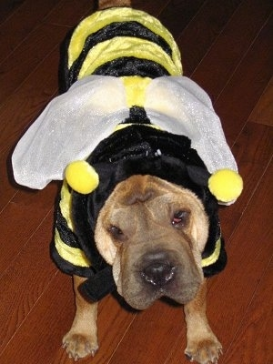 Close up view from the front - A tan Ori Pei is standing on a hardwood floor wearing a black and yellow bumblebee costume. Its head is tilted to the left and it is looking forward.