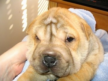 Close up head shot - An extra skinned, wrinkly, pudgy-looking, square snouted, tan Ori Pei is laying in a blue towel that a person is holding looking forward.
