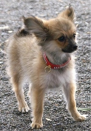 Close up front side view - A fuzzy, tan with white and black Paperanian dog is wearing a red collar standing on gravel looking to the right.