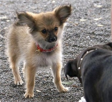 Front view - A perk-eared, fuzzy, tan with white and black  Paperanian dog is wearing a red collar with diamonds on it standing on gravel looking at the dog in front of it.