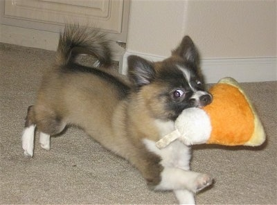 Action shot - A tan with black and white Pomchi puppy is running across a carpet with a plush orange yellow and white Halloween candy corn toy in its mouth. Its front paw is in the air.
