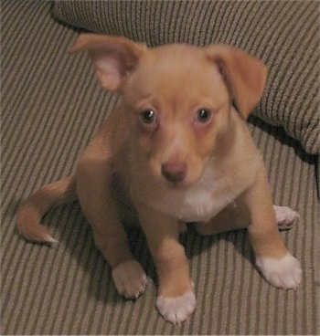A shorthaired tan with white Pomchi puppy is sitting on a tan striped couch and it is looking up. Its right ear is flopped down and the left one is almost standing up but folded over at the tip. It has white paws.