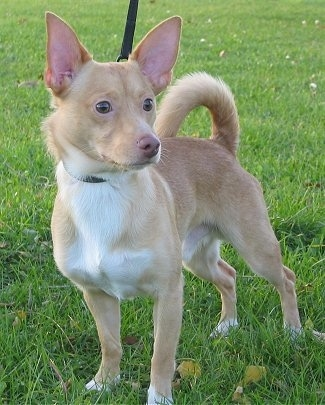 A perk-eared, short-haired tan with white Pomchi is standing in grass and it is looking to the right. Its ears are large and its tail is curled up over its back. It has a white chest.