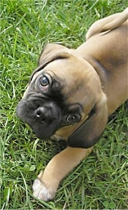 Top down view of a tan with black Puggle puppy that is standing in grass and it is looking up.