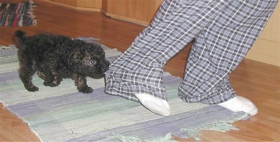 A black Puli puppy is pulling on a person's pants leg. The person is wearing blue plaid pants.