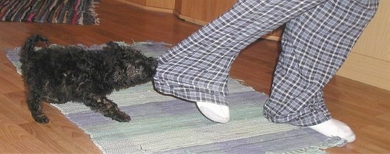 A black Puli puppy is pulling on a person's blue plaid pant leg as the person pulls their leg back on top of a small throw rug on a hardwood floor.