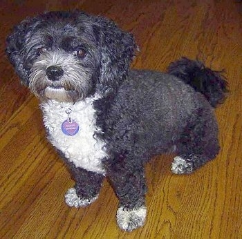 The left side of a wavy-coated, black with white Shih-poo that is sitting on a hardwood floor and looking forward.