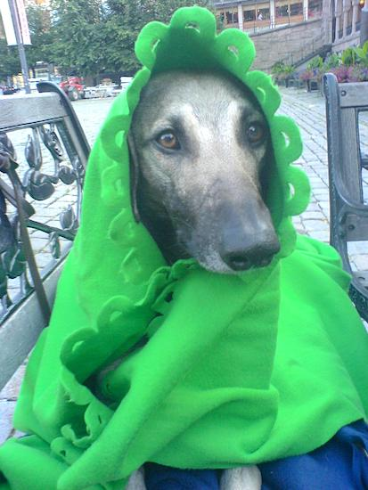 Front view - A grey with black Sloughi dog is wearing a green blanket around its head like a flower laying on a bench and it is looking to the right.
