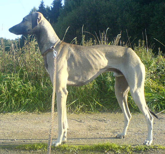 Left Profile - A tall, skinny, high arched, grey with black Sloughi dog is standing across a dirt surface, it is looking to the left and there is tall grass behind it. You can see the dog's ribs. It has a long tail that it is holding low with drop ears.