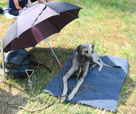 A tall skinny, grey with black Sloughi dog laying across a blue blanket under the shade of an open black umbrella that is sitting on the ground.