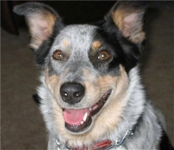 Close up head shot - A black and white with tan Texas Heeler is sitting on a carpet, it is looking forward, its mouth is open and it looks like it is smiling. It has wide brown almond shaped eyes, a black nose and ears that stand up and fold forward at the tips.