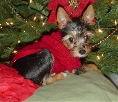 Close up - The left side of a black and tan with white Torkie puppy that is laying across a blanket that is under a christmas tree. The dog has large perk ears, dark round eyes and a black nose.