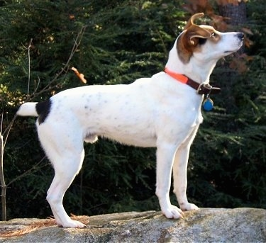 Right Profile - A white with tan and black Mountain Feist is standing on a large rock and looking up. There is an evergreen tree next to it