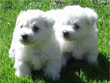 Two white Wee-Chon puppies are standing outside in grass and they are both looking to the left. They both have thick soft looking coats and small fold over v-shaped drop ears, black noses and black eyes.