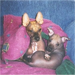Two Xoloitzcuintli puppies are laying together in a ball on a pink pillow in a blue arm chair. One dog's ears are standing straight up and the other dog has ears that go out to the sides. They both have dark eyes.