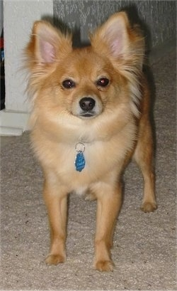 Front view - A small tan Yorkillon dog with perk ears is standing on a tan carpeted surface looking forward. The hair around the dogs ears is fringing out. It has dark eyes and a black nose.