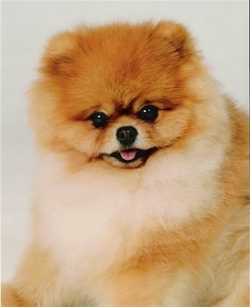 Close up - A tan with white Pomeranian is sitting on a white backdrop and it is looking forward. Its mouth is open and its tongue is out. Its coat is thick and its ears are small.