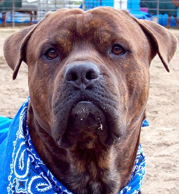 Close Up head shot - Cody the Bullmasador wearing a blue bandana