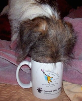 Close Up - Maggie Mae the Shih-Pom puppy has her head in a coffee cup