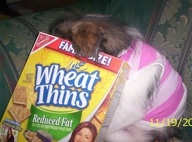Close Up - Maggie Mae the Shih-Pom puppy has her head in Wheat Thins box as she sits on a green couch. She is wearing a pink coat