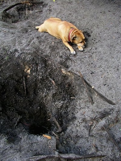 Baby J the Pit Bull mix  is laying next to a hole she has dug