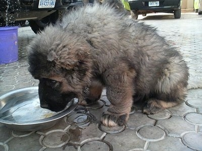Kamaz the Central Asian Ovtcharka puppy is drinking water out of a metal bowl