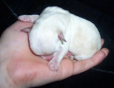 A newborn Chi-Chon puppy being held in the air by a person