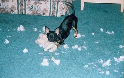 Molly the Chihuahua is chewing a stuffed bunny plush. There is stuffing all over the floor.
