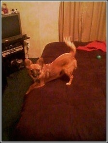 Taco the Chion is play bowing at the edge of a bed with a toy and a red shirt behind him and a TV on the other side of the room