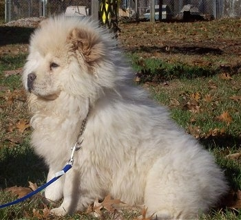 Left Profile - Dozer the fluffy cream Chow Chow puppy is sitting in a field that is covered in leaves.