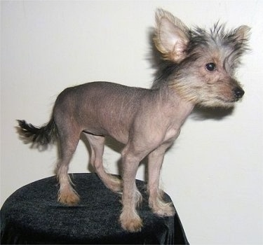Vixxi the hairless Crustie puppy is standing on a black covered stool