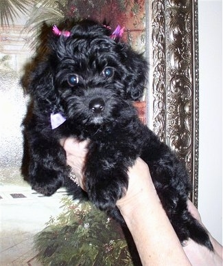Myah the black Doxie-Chon puppy is being held in the air by the hand of a person. She has a couple pink barrets in her hair