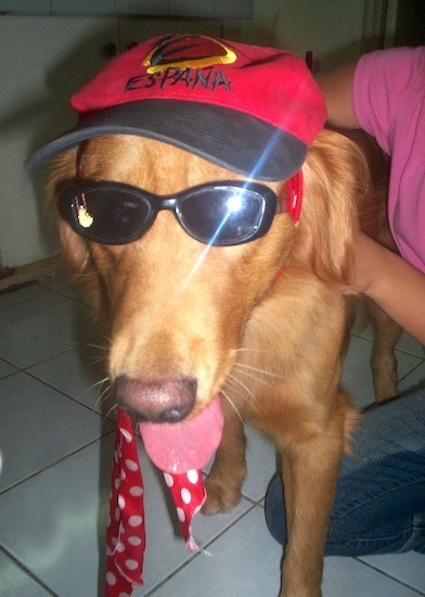 Spike the Golden Retriever is wearing black sunglasses, a red and black baseball cap that says 'Espana' and a red humans tie being hugged by a person in a pink shirt