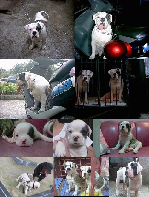 A collage of pictures - Top Left - An EngAm Bulldog is standing on a concrete floor. Top Right - EngAm Bulldog is sitting in a moPed next to a red baseball helmet. Middle Left - Right Profile - EngAm Bulldog is sitting in a moped in a parking lot. Middle Right - Two EngAm Bulldogs are sitting in the back of a cage. Middle Left - Close Up - A Puppy is laying on a carpet. It is flanked by other EngAm Puppies. Middle Middle - A EngAm Bulldog Puppy is being held close to a person's chest. Middle Right - A EngAm Bulldog Puppy is sitting on a red couch next to a couple of pillows. Bottom Left- Two EngAm Bulldog Puppies are in dirt and playing with each other. There is a large Brown and Black dog behind them. Middle Middle - Two EngAm Bulldog Puppies are sitting in a red pen. Middle Right - An EngAm Bulldog is standing on concrete