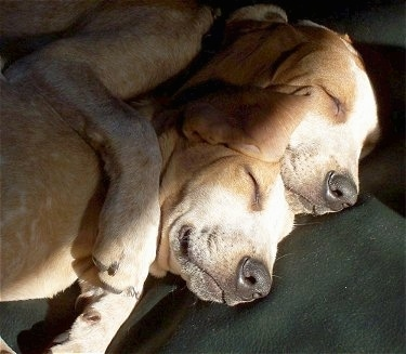 Lillie and Mollie the Red tick English Coonhound puppies are sleeping on a couch cuddled together