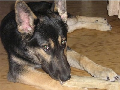 Front view - A perk-eared, black with tan German Shepherd/Border Collie is laying on a hardwood floor and it is biting on a rawhide bone.