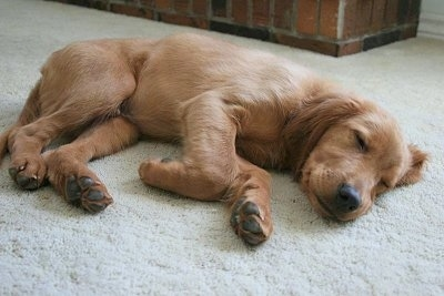 A Golden Irish puppy is sleeping on a tan rug in front of a brick wall