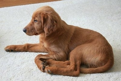 A Golden Irish puppy is laying on a tan rug.