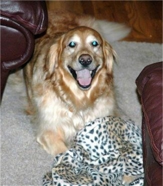 A Golden Retriever is laying on a rug between two leather couches. Its mouth is open and it looks like it is smiling. There is a cheetah print blanket over top of its paws.