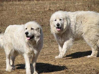 Great Pyrenees - Tundra and Tacoma standing on barren land with their tongues out