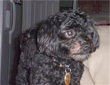 Close Up - A wavy-coated black Hava-Apso is standing in a kitchen