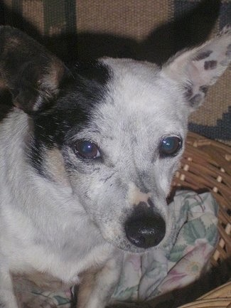A white with black Miniature Fox Terrier/Jack Russell Terrier mix is sitting on top of a blanket in a wicker basket. It has black pigment spots on the inside of the pink skin on its ears.