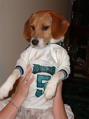 A brown with white Jack-A-Bee is being held up by a person and it is wearing a Donovan McNabb Eagles jersey