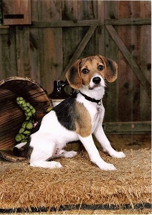 A white with brown and black Jack-A-Bee puppy is sitting in hay in front of a wooden barn door