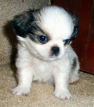 A tiny white with black Japeke puppy is sitting on a tan carpet in front of a dresser. It is looking down and to the right. The dogs head is large compared to the rest of its small body.