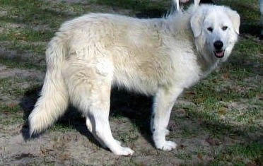 Side view - A white Maremma Sheepdog is standing in dirt with patchy grass. Its mouth is open and tongue is out.