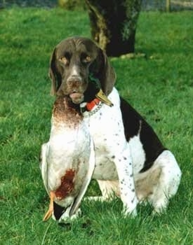 Front view - A white and brown Old Danish Chicken Dog is sitting in grass looking forward. It his holding a dead duck in its mouth by the neck. It has a ticking color pattern on its legs.