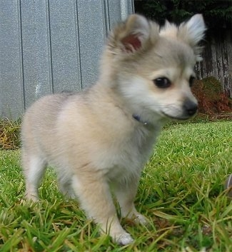 Close up front side view - A tan with white Pomchi puppy is standing on grass and looking down and to the right.