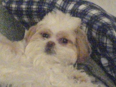 Close up head and upper body shot - a long coated white with tan Poochin dog is laying against a blue and white plaid pillow and it is looking up.
